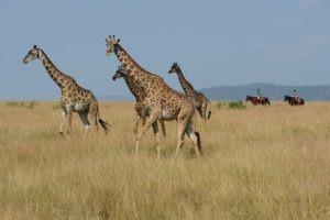 22 A tower fo giraffe