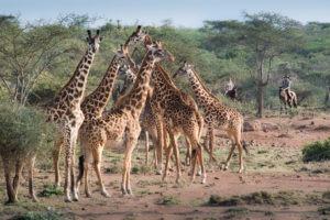 25 Many long necks