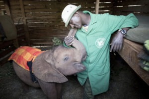 An orphaned Elephant wrapping its trunk around its Keeper