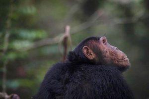 kyambura gorge lodge uganda chimpanzee
