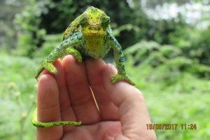 rwenzori trekking uganda chameleon 1