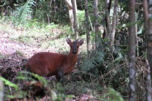 rwenzori trekking uganda red duiker 1