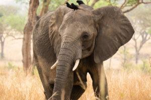 uganda wildlife elephant