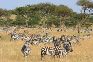 Naboisho Camp zebra migration kenya safari
