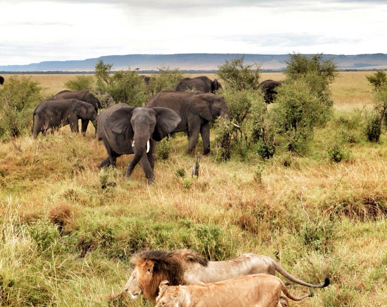 Naboisho Conservancy elephant challenging lion MR