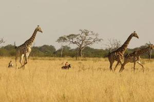 Ride Zimbabwe Giraffe catner